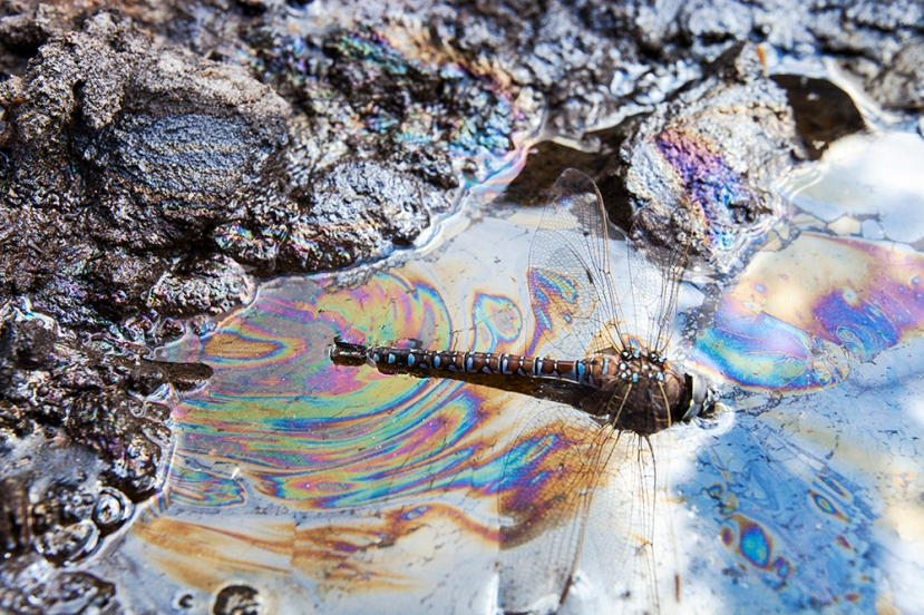 A dragonfly stuck in tar sand.
