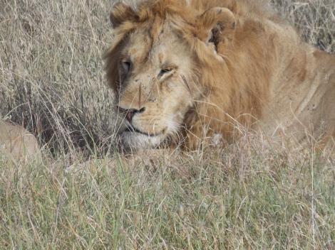 male lion serengeti