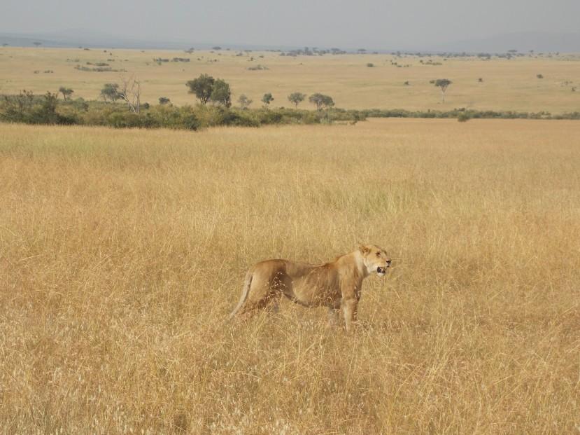 solo lioness in mara