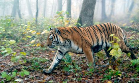 Amur or Siberian tiger (Panthera tigris altaica); Bikin River, Maritime Territory (Primorye or Primorsky Krai), Siberia, Russian Federation