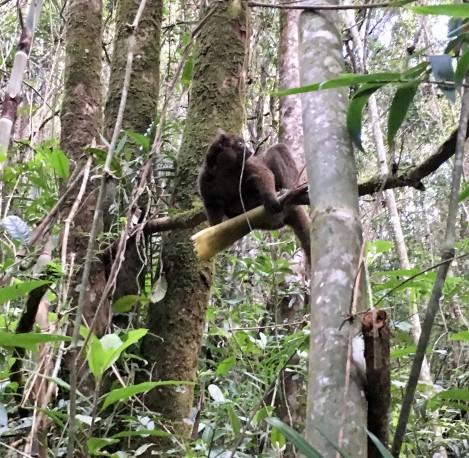greater bamboo lemur profile