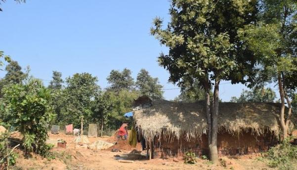Chironji trees in Pandel village are now flowering well (Photo by Basudev Mahapatra)