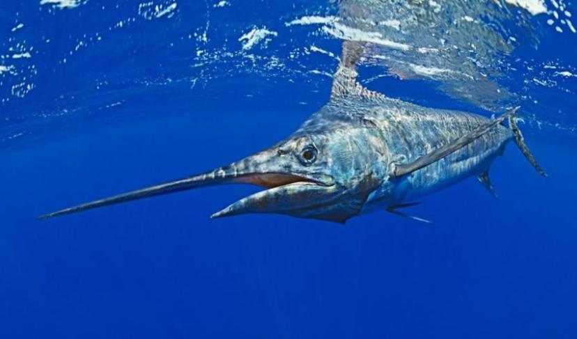 blue_marlin_c_waterframe_alamy_stock_photo