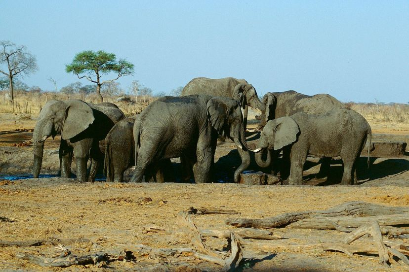 Herd_of_elephants_in_the_Hwange_national_park._Zimbabwe._-_panoramio
