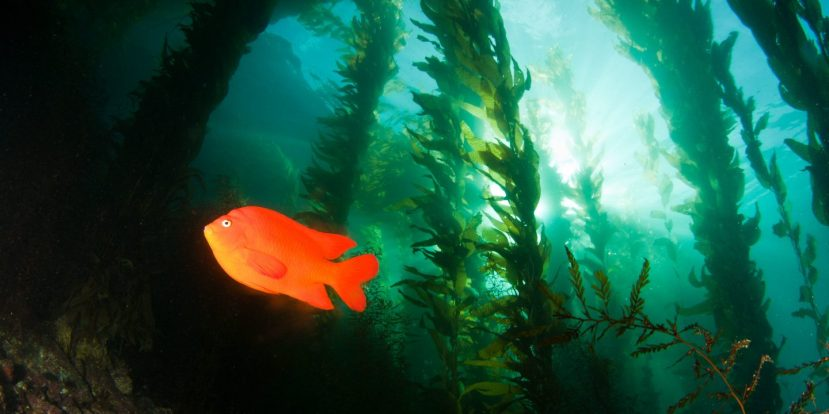 A-garibaldi-in-the-kelp-forest-1440x720