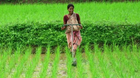 200423-covering-climate-now-rice-farming-climate-change-emissions-system-of-rice-intensification-3-SRI-700x394